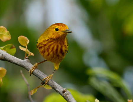 Male Yellow Warbler showing the red crown and deep breast streaking of the Lesser Antillean race. (Photo by Stephen Shunk)