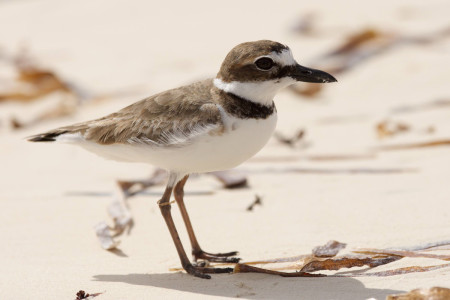 Wilson's Plover, one of the few shorebirds that breeds in the Bahamas, photographed on Andros Island in the Bahamas. (photo by David Jones).