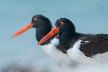 American Oystercatchers in the Bahamas (photo by Walker Golder).