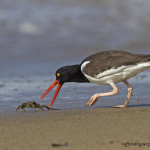 American Oystercatcher grabbing a crab breakfast on the beach in Puerto Rico. (photo by Rafy Rodriguez