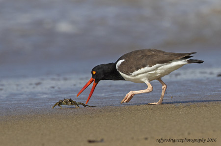 American Oystercatcher grabbing a crab breakfast on the beach in Puerto Rico. (photo by Rafy Rodriguez)