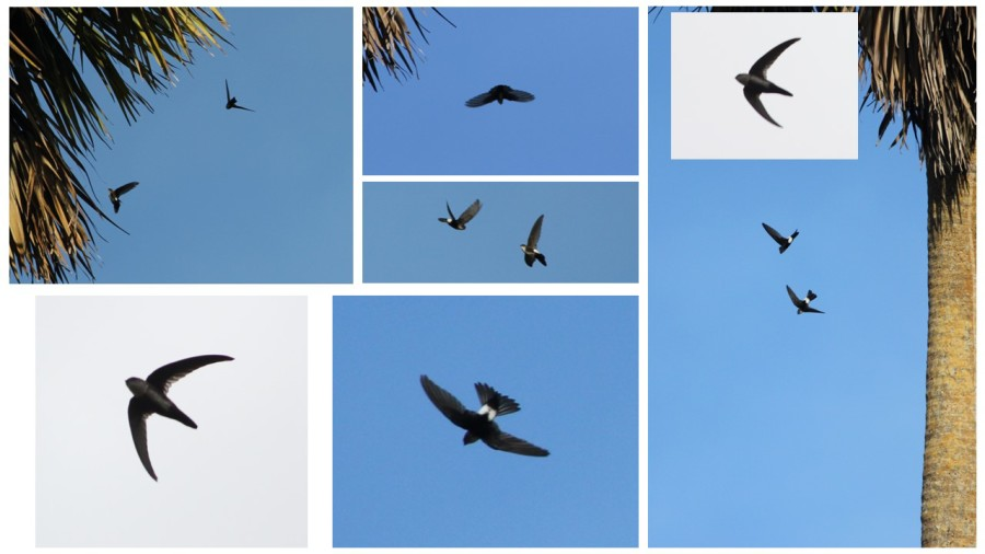 Antillean Palm-Swifts in flight as well entering and exiting nests located within the hanging fronds of palm trees, Jamaica. (photos by Justin Proctor)