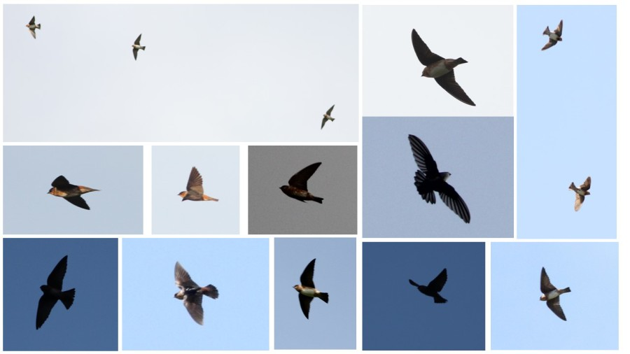 Cave Swallows in flight from multiple angles under different lighting conditions, Jamaica. (photos by Justin Proctor)