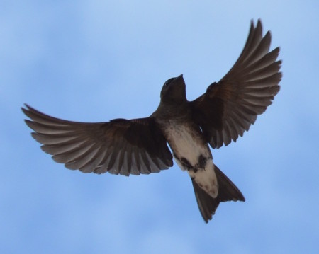 Cuban Martin in flight, Cuba. (photo by Martín Acosta)