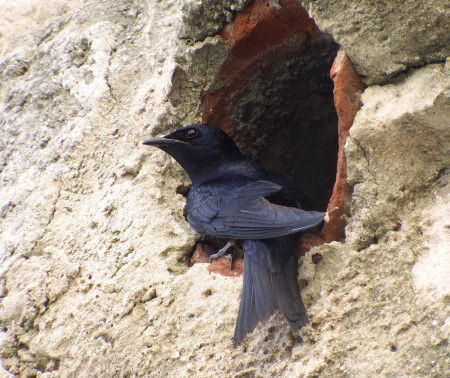 Cuban Martin perched outside of nesting cavity, Cuba. (photo by Ianela García Lau)