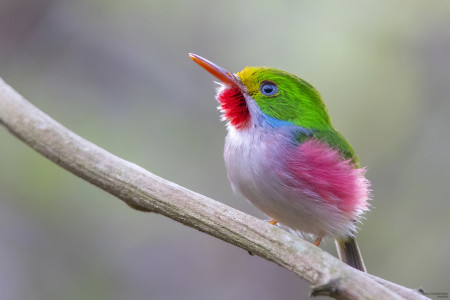 Cuban Tody—one of Cuba's most beloved endemic birds. (photo by Aslam Ibrahim)