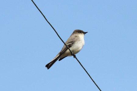 Eastern Phoebe (photo by Mike Burrell).