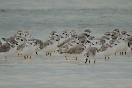 A flock of Piping Plovers and a Sanderling in South Caicos, Turks and Caicos Islands. (photo by Craig Watson).