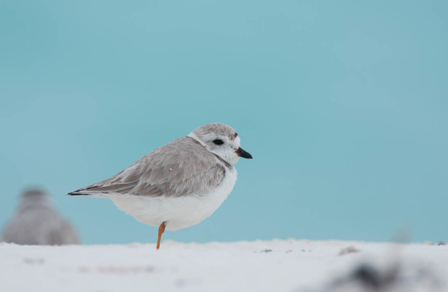 Piping Plover in the Berry Islands. (photo by Walker Golder)
