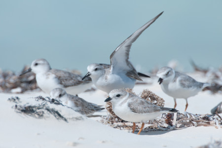 Piping Plovers in the Joulter Cays, Bahamas. (photo by Walker Golder).