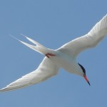 Roseate Tern, a seabird of conservation concern. (photo by Jenny Daltry)