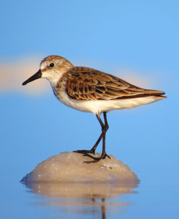 Semipalmated Sandpiper (photo by Sipke Stapert)