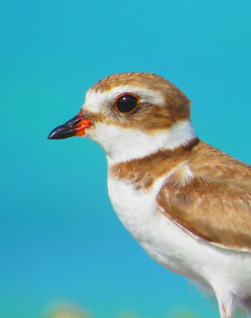 Semipalmated plover in Bonaire. (photo by Sipke Stapert).