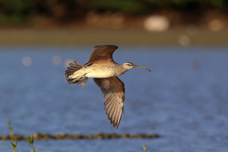Whimbrel in flight at a wetland in the Dominican Republic. (photo by Dax Roman)