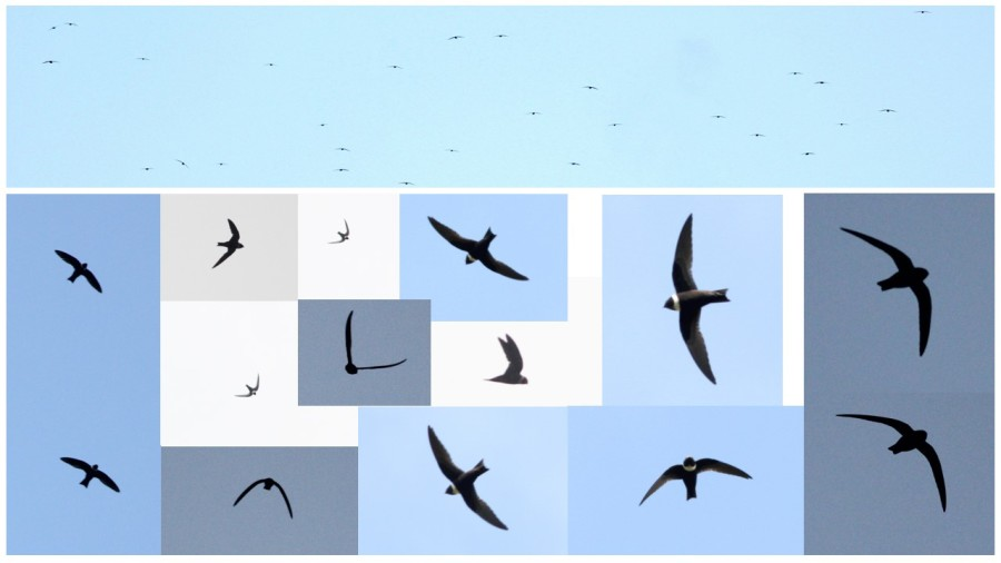 White-collared Swifts in flight, Jamaica; top photo is a good depiction of the species viewed head-on from a mountain top. (with the observer positioned at the same elevation that the swifts are flying) as they come together to flock in the evening. (photos by Justin Proctor)