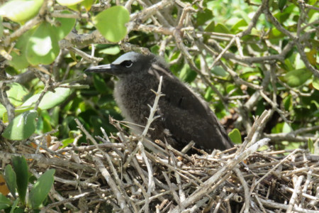 Brown Noddy chick on nest - its underside is still downy but it's head and back have feathers. (photo by Juliana Coffey)