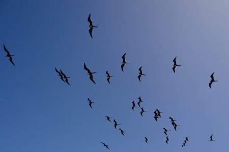 Magnificent Frigatebirds, Portland Bight Protected Area. (Photo: Lisa Sorenson)