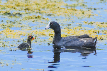 American Coot (White-shielded). (photo by Mario Espinosa)