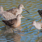 Shorebirds like the Short-billed Dowitcher and Stilt Sandpiper are long distance migrants that spend part of their year in the Caribbean. (Photo by Mark Yokoyama)