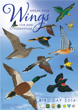 The annual IMBD art is a key component of the program and highlights the annual conservation theme. Each of the 11 bird species featured on the 2016 poster represents the importance of protections for birds. The Carolina Parakeet, now extinct, is a reminder that the unregulated hunting of birds or use of their feathers for ornamentation, for example, can result in the complete loss of a species. The remaining 10 species are protected by the Migratory Bird Treaty, the Convention on Biological Diversity, and other international agreements.