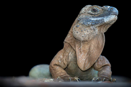 The Jamaican Iguana (Cyclura collei) was declared extinct in 1948. After it was rediscovered by a man and his dog, hunting wild pigs in 1990,this still critically endangered species became the subject of a successful breeding program involving a number of scientists at home and overseas. (Photo: Robin Moore)
