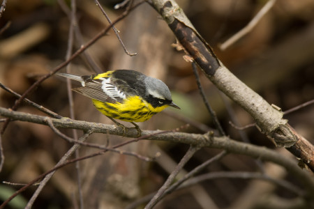 A striking male Magnolia Warbler perches momentarily on a branch while foraging for food during its spring migration. (photo by Gerald A. DeBoer, Shutterstock)