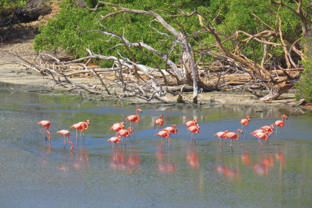 The American Flamingo, national bird of Bonaire, can be viewed at close range on many of Bonaire's salinas. (photo by Lisa Sorenson)