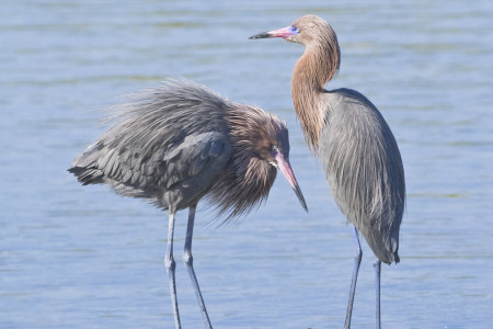 Couple-in-love.-Reddish-egret-by-Tania-T