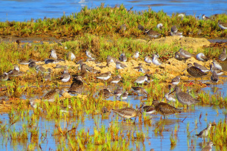 Short-billed Dowitchers, and assorted sandpipers and plovers rest and feed at Salina de Vlijt, a seasonal wetland located in an urban area and unfortunately slated for development. Bonaire is a shorebirders' paradise - the island's salinas and salt ponds provide critical stopover and wintering habitat to thousands of migratory and resident shorebirds. (photo by Sipke Stapert)