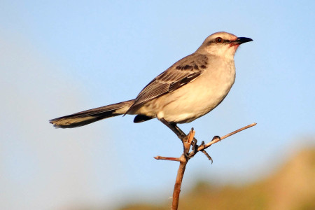 The Tropical Mockingbird, called the Chuchubi in Papiamentu, is one of the most conspicuous and well-known birds of Bonaire, known for its loud jubilant song. (photo by Lisa Sorenson)