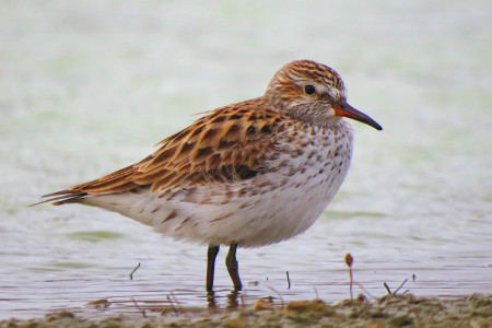 White-rumped Sandpiper during spring migration. (photo by Sipke Stapert)