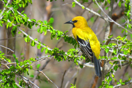 The spectacular Yellow Oriole is a breeding resident on Bonaire. (photo by Lisa Sorenson)