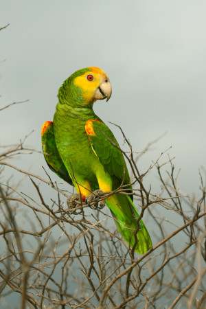 The Yellow-shouldered Parrot (Amazona barbadensis), or Lora, as it is locally known in Papiamento, is one of Bonaire's most charismatic birds. It lives in Bonaire's dry forests. Only about 900 remain in Bonaire where it is classified as threatened. (photo by Sam Williams)
