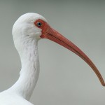 White Ibis portrait (photo by David Raynor)