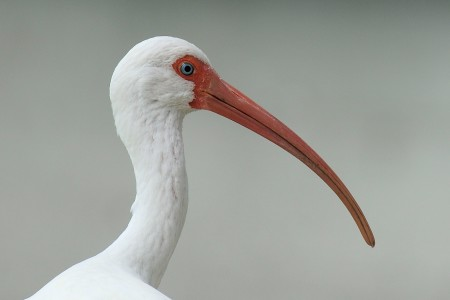 The striking White Ibis uses its long down-curved bill to probe for prey in shallow water. It is locally common on some wetlands in the Bahamas and Greater Antilles, including Cuba, Turks and Caicos, Islands, Hispaniola, Puerto Rico, Cayman Islands and Jamaica. (photo by David Raynor)