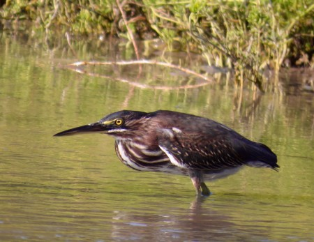 A handsome Green Heron, one of many wetland birds spotted in the Portland Bight Protected Area (photo by Lisa Sorenson)