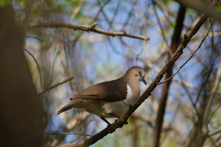 There may be less than 200 Critically Endangered Grenada dove (Leptotila wellsi) left in the world. These birds are restricted to just a few areas of dry forest on Grenada and are sensitive to habitat disturbance and natural disasters. (photo by Howard Nelson)
