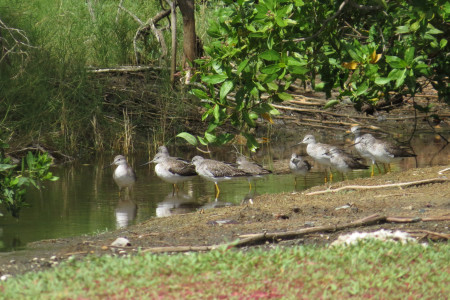A group of Lesser Yellowlegs rests in the shallow water in a Curacao wetland. (photo by Robyn Fidanque)