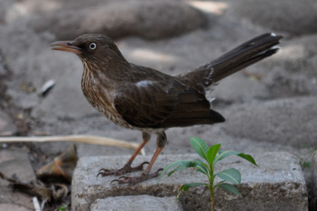 The regional endemic pearly-eyed thrasher (Margarops fuscatus) is a very successful nest predator and has a superior ability to colonize and adapt to new habitats. It is classified as 'Least Concern'. (photo by Hannah Madden, St. Eustatius)