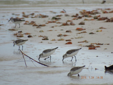 A flock of Sanderlings feeds along the beach at Cayo Jutia, Cuba. (photo by Alieny Gonzalez)