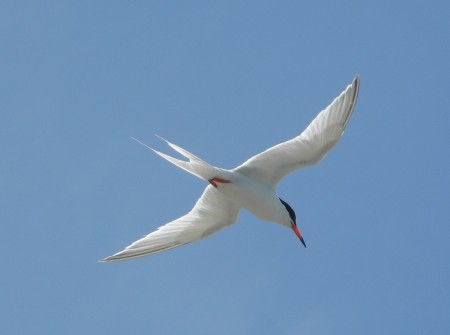 Roseate Tern in Flight (photo by Jenny Daltry)