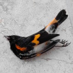An American Redstart that fell victim to Hurricane Matthew. (photo by Linda Barry Cooper)