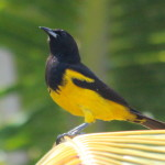 Bahama Oriole adult on Andros. It could be a male or a female, as both sexes have this striking black and yellow coloration.  (photo Daniel Stonko, UMBC)