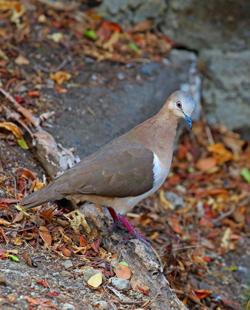The Grenada Dove population suffered a substantial decline and is still recovering from Hurricane Ivan, a Category 5 which hit Grenada in 2004. (photo by Greg Home).