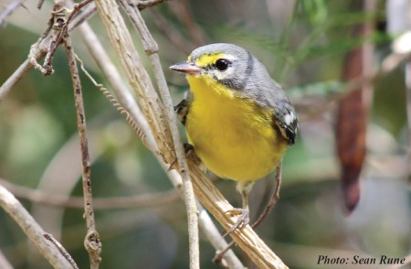 Adelaide's Warbler on St. Thomas, U.S. Virgin Islands. (photo by Sean Rune)