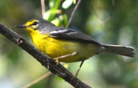 Adelaide's Warbler with white lower eye crescent - a possible female - on St. John. (photo by E. Dluhos in Veit et al. 2016)