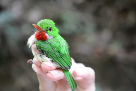 The Broad-billed Tody is one of two endemic tody species found on Hispaniola. (photo by Holly Garrod)