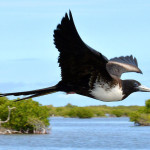Magnificent Frigatebird in flight (photo by Ted Eubanks)
