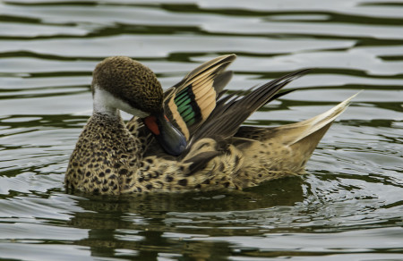 A male White-cheeked Pintail preening. This beautiful sedentary tropical duck is common on a number of Caribbean islands, including Antigua and Barbuda.  (photo by Binkie van Es)
