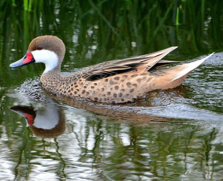 Male White-cheeked Pintail (photo by Ted Eubanks).